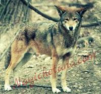 बचाओ-बचाओ भेड़िया आया