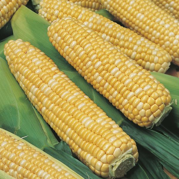 मक्का भुट्टे खाने के 10 फायदे और लाभ ,Sweet Corn Benefits Side Effects in Hindi, challi, makka, छल्ली, मक्का